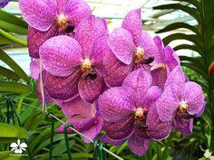 Vanda Thailands Delight #Orchideen #Orchidee #Orchideengarten #orchid #orchids #orchidaceae #Dahlenburg #Wendland #Niedersachsen #Norddeutschland #Ausflugsziel #Gruppenangebote #Hamburg #Lüneburg