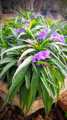 """The """"Katie"""" Ruellia is a wonderful """"Texas Superstar""""  native understory plant that grows in shade to full sun. Incredibly tough, adaptable, and drought tolerant, this plant will go perfectly in any southern xeriscape garden. These are for sale at Sol'stice Garden Expressions in Dripping Springs, TX."""