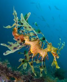Leafy Seadragon - Endangered Animal