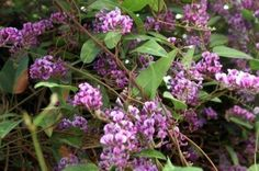hardenbergia - how to grow it