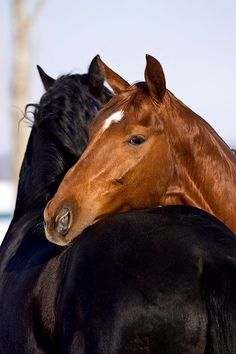 so very, very beautiful...black and chestnut horses together.