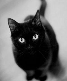 ♡ Black Cats ♡