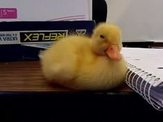 Baby Duck Tries to Stay Awake