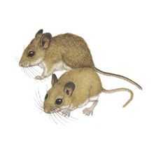Pallid Beach Mouse Peromyscus polionotus decoloratus extinct | beach mouse are near threatened peromyscus polionotus oldfield mouse ...