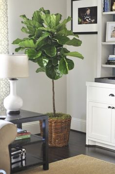 Fiddle leaf fig tree care tips~I want one of these for my house!!!!
