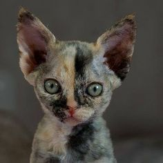 best pictures ideas of devon rex kitten - most affectionate cat breeds I Love Cats, Crazy Cats, Cool Cats, Cute Kittens, Pretty Cats, Beautiful Cats, Chat Bizarre, Curly Haired Cat, Devon Rex Kittens