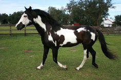 APHA Black and White Overo Stallion