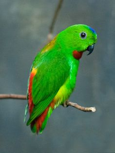 The Wallace's Hanging Parrot, Loriculus flosculus also known as the Flores Hanging Parrot, is a small parrot endemic to the island of Flores. This is an arboreal parrot.