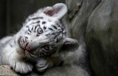 Baby Animals Super Cute, Cute Little Animals, White Tiger Cubs, Tiger Images, Tiger Wallpaper, Cute Tigers, Pretty Cats, Pretty Kitty, Baby Animals Pictures
