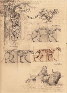 big cat skeleton proportions cheetah-anatomy-sketch-Smilodon hunting sequence sketch 1, Artist Sketchbooks , Study Resources for Art Students  CAPI ::: Create Art Portfolio Ideas at milliande.com, Art School Portfolio, Sketchbook, How to Draw Animals, Sketching, Animals, Cat, Animal Anatomy