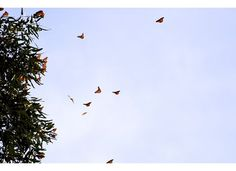 Monarch Resting Area at Natural Bridges State Park in Santa Cruz.  The butterflies group together in giant clumps and hang from the trees in the winter to stay warm.  Beautiful!