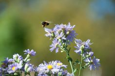 Bumblebee flying to another bloom on Symphyotrichum oblongifolium 'October Skies.' | Planting fall-blooming flowers for pollinators - Red Dirt Ramblings®