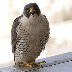 Peregrine falcon, fastest bird on the planet