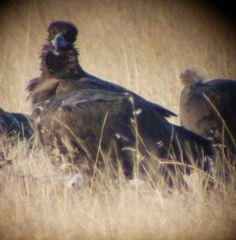 Buitre negro (Aegypius monachus) el ave mas grande de la península ibérica, catalogada como especie vulnerable y protegida