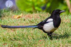 Pega-rabuda, Magpie (Pica pica) - em Liberdade [in wild] | by xanirish