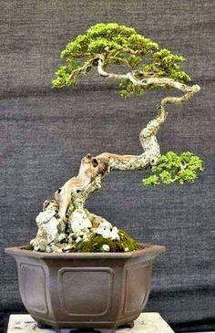 500 Bonsai Literati Ideas Bonsai Bonsai Tree Bonsai Garden
