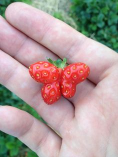 Funny pictures about A Strawberry Shaped Like A Butterfly. Oh, and cool pics about A Strawberry Shaped Like A Butterfly. Also, A Strawberry Shaped Like A Butterfly photos. Funny Fruit, Funny Food, Fun Funny, In Natura, Food Humor, Fruits And Veggies, Funny Vegetables, Being Ugly, Food Art