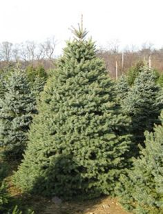 Evergreen Upright Conifer With A Conical Broad Outline