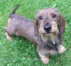 Wire haired Daschund- looks like a little old grandpa!