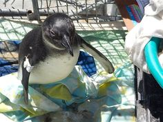 Volunteer with Via Volunteers in South Africa and help to rehabilitate endangered African Penguins and other marine bird species at a leading rehab centre near Cape Town. https://www.viavolunteers.com/volunteer-south-africa-endangered-african-penguins