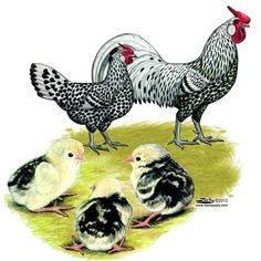 Silver Lakenvelder Chickens for Sale, Buy Silver Lakenvelder Spanish Chicks