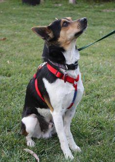 Divit-rat terrier mix