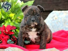 Scruffy – American Bully Puppy www.keystonepuppies #keystonepuppies  #americanbully