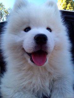 10 week old cheeky samoyed puppy