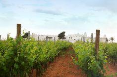 Masseria Surani Vineyard - Manduria (TA) - Puglia