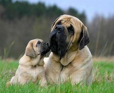 Mastiffs, Love them! Duke, Duchess, Wrinkles, Tonka, Bella and Malaya!