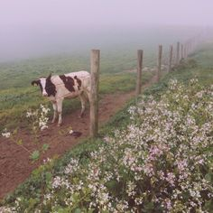 A cow in a misty landscape with flowers. Soft and gentle film aesthetic beauty, sweet farm animals Farm Animals, Cute Animals, Animals Kissing, Vie Simple, Photomontage, Farm Life, Country Life, Beautiful Creatures, Beautiful Places