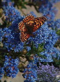Ceanothus 'Julia Phelps' with a Checkerspot Butterfly Ht 6 - 8 Ft, showy…
