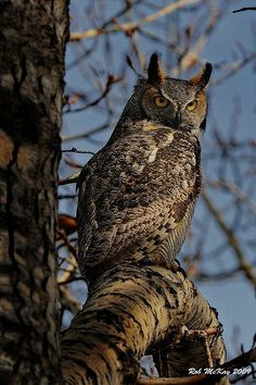 Scary adult great horned owl by Rob McKay Photography on Flickr.