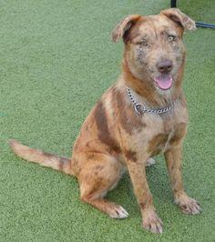 Aussie Mix, Dog Breeds, Dogs, Animals, Animales, Animaux, Pet Dogs, Doggies, Animal