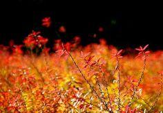 Spiraea thunbergii in autumn  雪柳