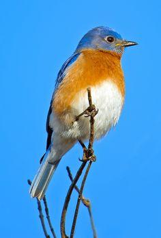 Eastern Bluebird by  Brian Kushner**