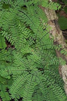 Adiantum pedatum (Maidenhair Fern) : Prairie Nursery Native Plants, Buy Native Plants | Native Seeds | No Mow Lawn | Native Landscape Consulting