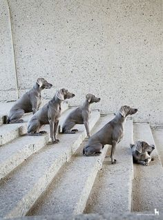 Weims at attention.