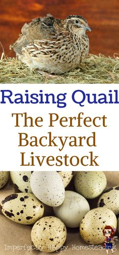 Raising Quail - The Perfect Backyard Livestock for homesteads or urban homesteaders. A great alternative to chickens. Best Chicken Coop, Building A Chicken Coop, Chicken Coops, Chicken Houses, Chicken Tractors, Small Chicken, Chicken Breeds, Raising Backyard Chickens, Backyard Farming