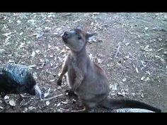 Little Kangaroo, so cute!