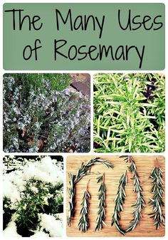 All about rosemary, one of my very favorite herbs! The many uses of rosemary, including medicinal and culinary. Rosemary is a plant that everyone should have in their garden because it is so useful! #garden #gardening #rosemary #herbs #medicinal #realfood