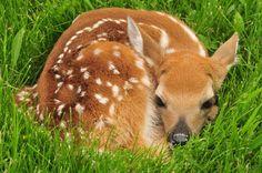 Richard St. Barbe Baker Afforestation Area.  The simple life.  Saskatoon, Saskatchewan, Canada.  White-tailed-deer-fawn