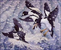 Goldeneye in a Snow Storm by Charles Tunnicliffe. Naturalism. wildlife painting. Private Collection