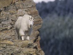Mountain Goats are beautiful fearless animals.  Just gorgeous!