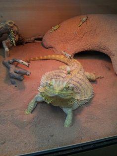 slightly overweight Bearded dragon