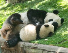 Bai Yun plays with her son Xiao Liwu at the San Diego Zoo on April 28, 2013. © Rita Petita.