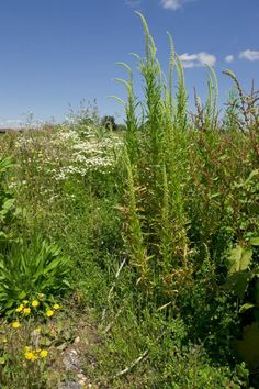 Reseda luteola Seeds £1.82 from Chiltern Seeds - Chiltern Seeds Secure Online Seed Catalogue and Shop