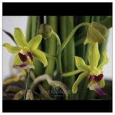 #paraphalaenopsis-denevei-yellow-hybrid-orchids-online-buy #buy # Mumbai