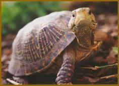 REPTILES-Son ovíparos, su piel esta cubierta de escamas, respiran por pulmones y la mayoría tienen patas