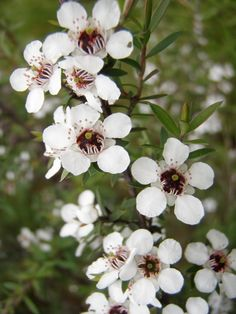The beauty of a gorgeous manuka flower, also called leptospermum scoparium, only from New Zealand. #manuka_flower #manuka_honey #buy_manuka_honey_online #manuka_honey_usa Manuka Honey Uses, Skin Care, Usa, Flowers, Beauty, Skincare Routine, Skins Uk, Skincare